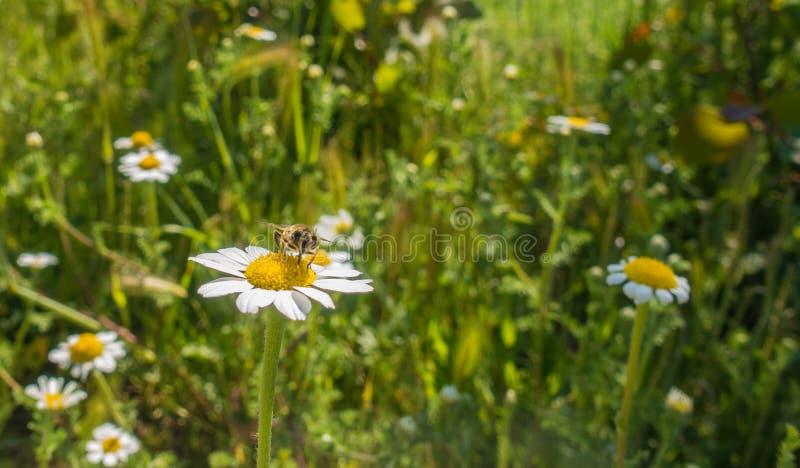 Mosca do zangão que poliniza na flor branca do Asteraceae imagens de stock
