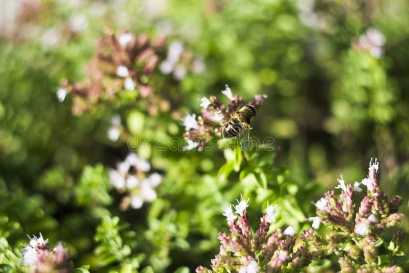 Mosca do zangão & x28; Tenax& x29 de Eristalis; na flor fotos de stock royalty free