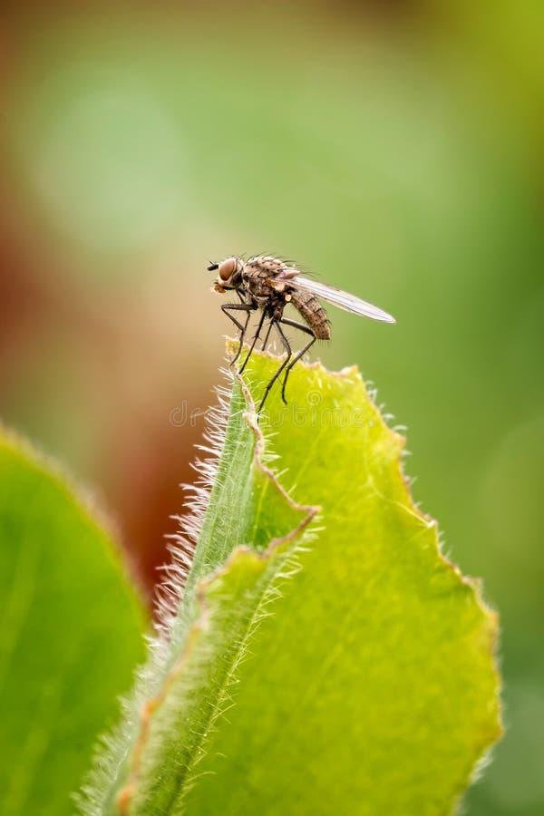 Download Mosca Doméstica Común (mosca) Foto de archivo - Imagen de cierre, salvaje: 41901092
