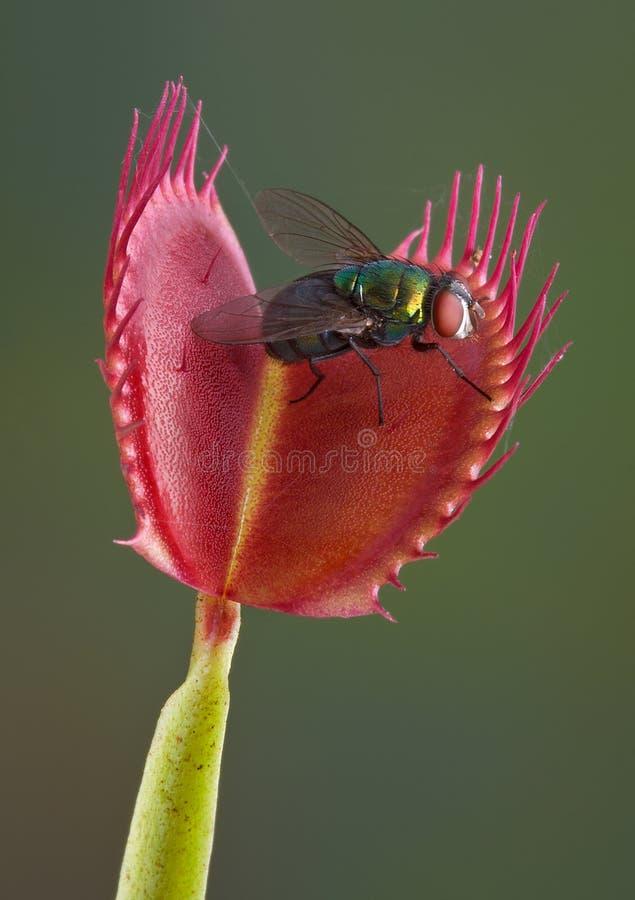 Mosca em uma armadilha da mosca do venus imagens de stock royalty free