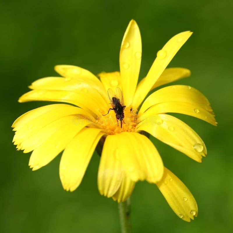 Mosca en la flor amarilla imagen de archivo