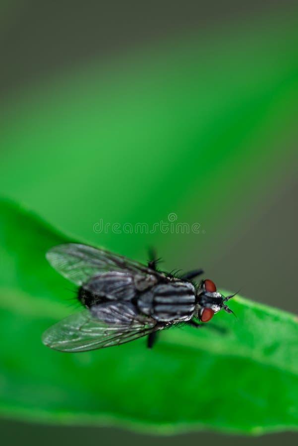 A mosca está sentando-se em uma folha, domestica do Musca, foto macro fotografia de stock