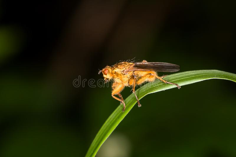 Mosca grande do pairo? imagem de stock royalty free