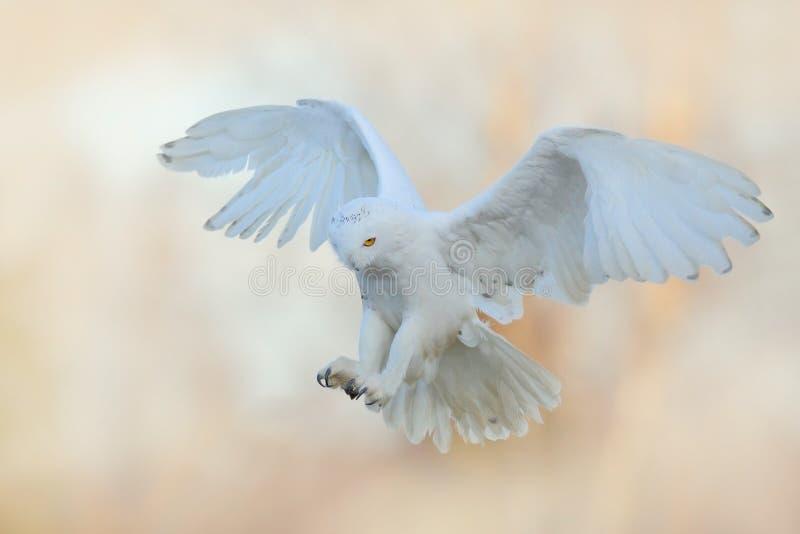 Mosca hermosa del búho nevoso Búho Nevado, scandiaca de Nyctea, vuelo del pájaro raro en el cielo Escena con las alas abiertas, F fotos de archivo
