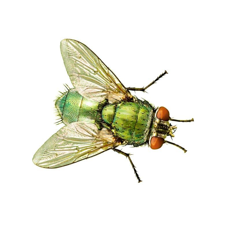 mosca isolada no branco imagem de stock