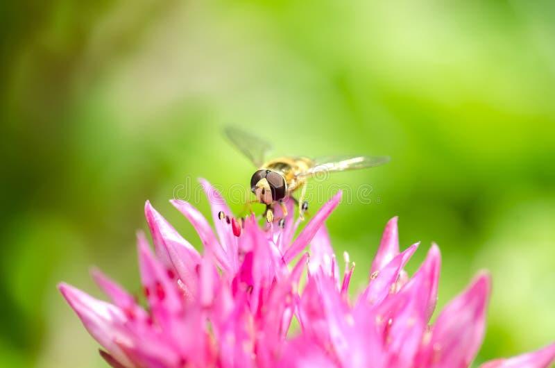 A mosca listrada senta-se em uma flor violeta closeup fotografia de stock