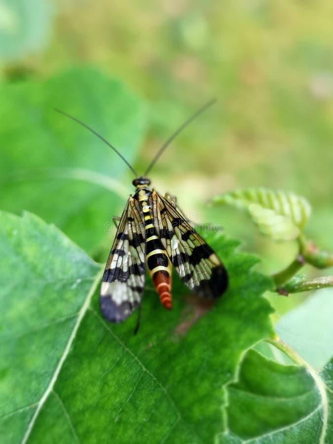 Mosca Mecoptera Panorpa do escorpião Communis na folha verde no jardim imagens de stock