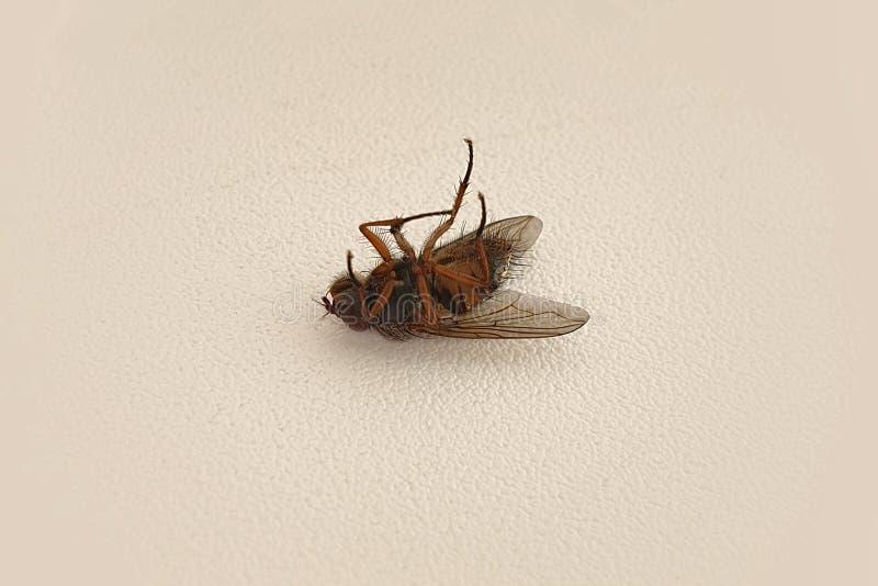 mosca morta deitada de costas imagens de stock