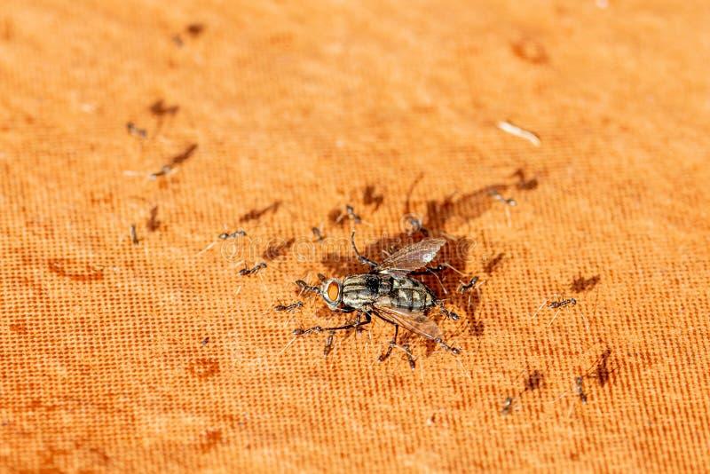 Mosca muerta de la casa que es llevada por las hormigas a su jerarqu?a foto de archivo