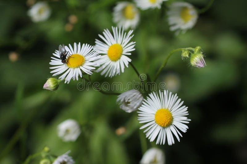 Mosca na flor do áster imagens de stock