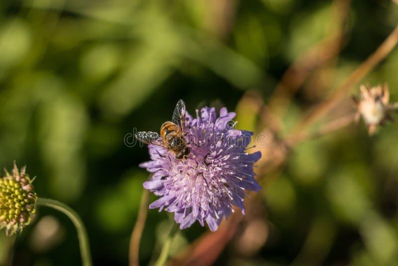 Mosca na flor violeta imagens de stock