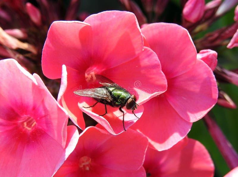 Mosca nera sul bello fiore rosa, Lituania immagine stock