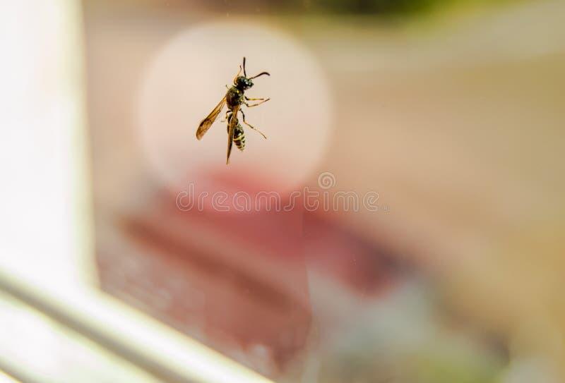 Mosca que se sienta en la ventana sobre el vidrio en un halo redondo blanco, protección del insecto en un edificio residencial imagen de archivo