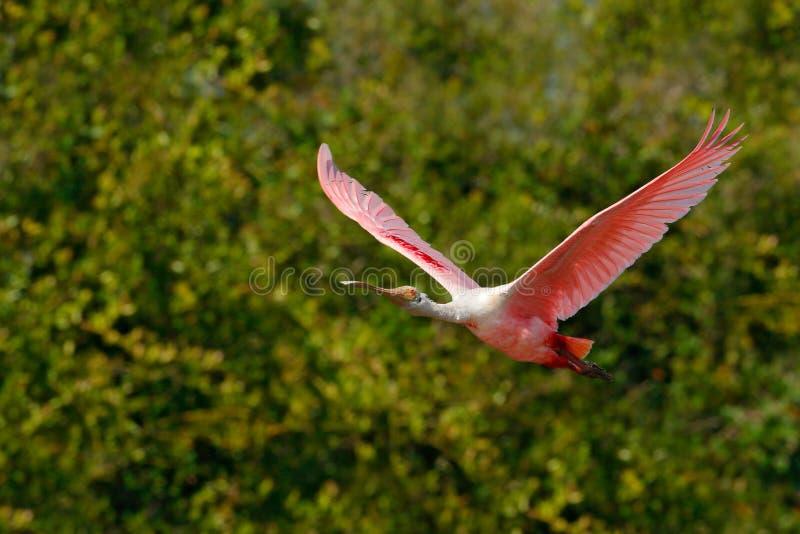 Mosca rosada del spoonbill Pájaro del Spoonbill Salida del sol hermosa con el pájaro, ajaja del Platalea, Spoonbill rosado, en la imágenes de archivo libres de regalías