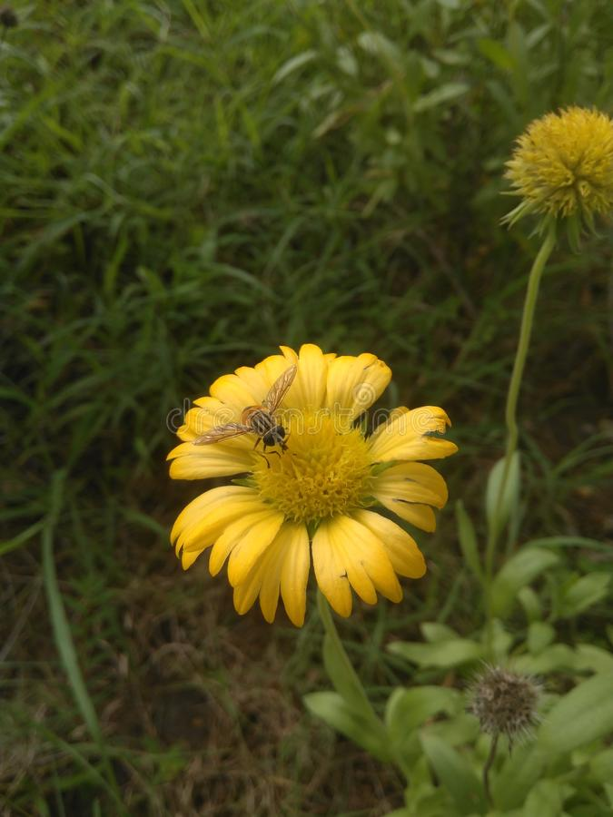 A mosca seleciona o pólen a flor fotografia de stock
