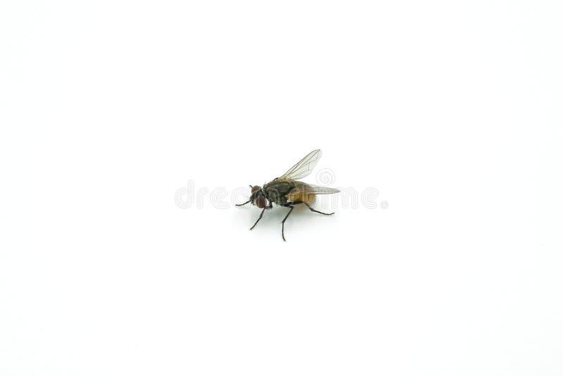 mosca su fondo bianco, primo piano dell'insetto della mosca comune immagini stock