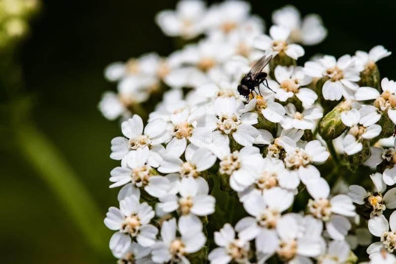 Mosca sui fiori fotografie stock libere da diritti