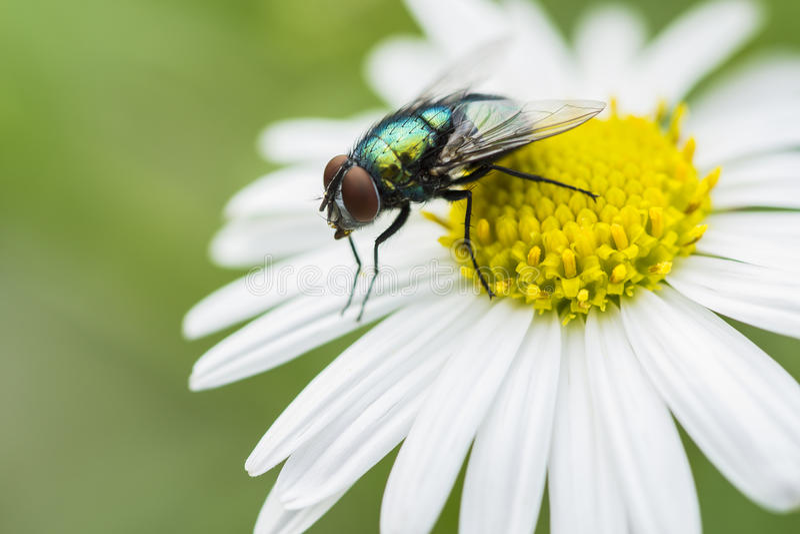 Mosca verde sulla macro di estate del fiore immagine stock
