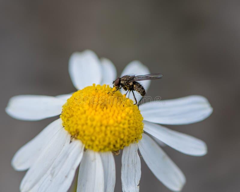 Mosca y polen en un wildflower fotografía de archivo libre de regalías