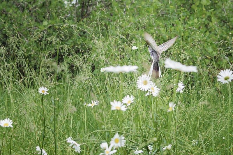 Moscas alba del Motacilla blanco del aguzanieves fotografía de archivo libre de regalías