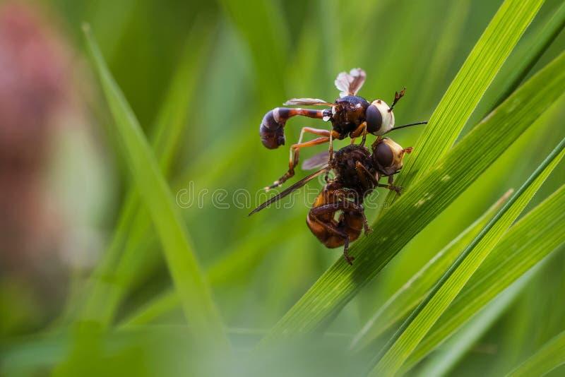 2 moscas durante el acoplamiento fotografía de archivo
