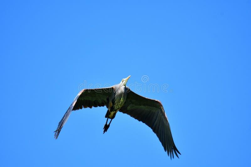 Moscas las grandes de una garza azul por encima, sus alas se separaron hacia fuera foto de archivo