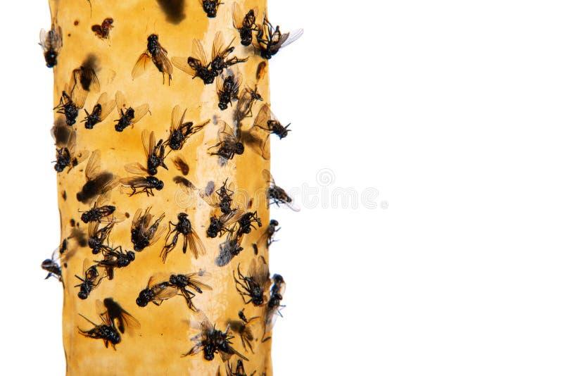 Moscas pegadas en el primer pegajoso del papel matamoscas, en el fondo blanco Trampa para las moscas o el dispositivo de la mosca imagenes de archivo