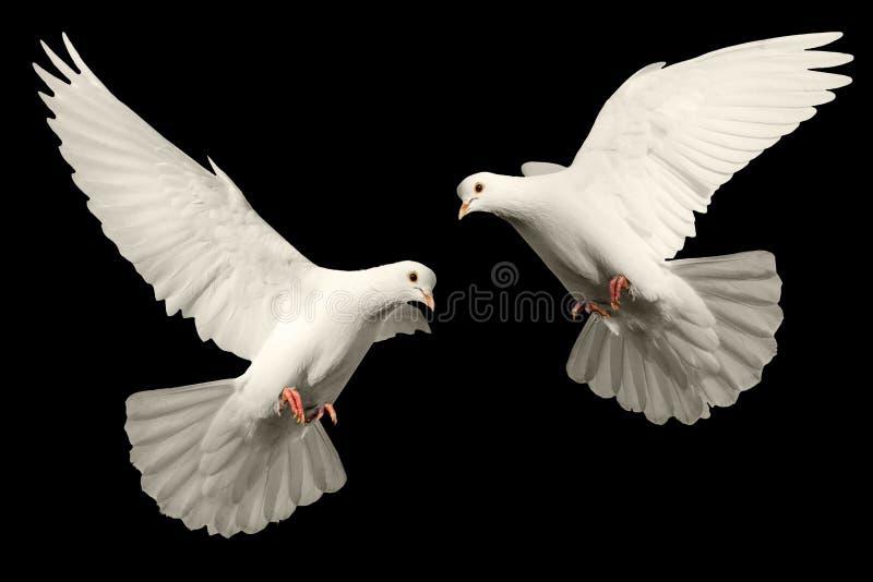 Mosche bianche della colomba fotografia stock libera da diritti