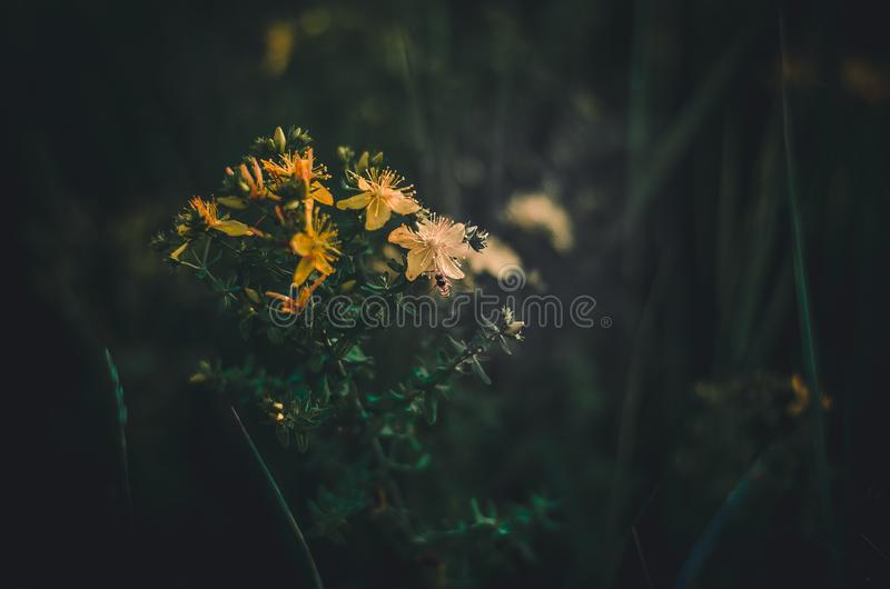 Mosche di ape sui fiori gialli dell'iperico Raccoglie il nettare di primavera dai wildflowers Priorit? bassa scura verde Abbondan immagini stock libere da diritti