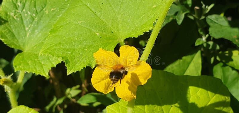 mosche di bombo ad un fiore giallo del cumcumber fotografia stock