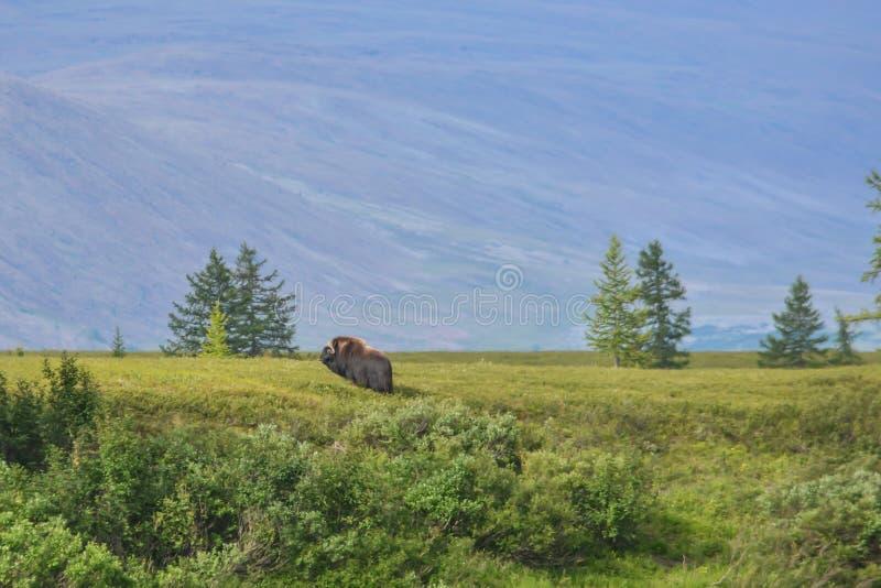 Moschusochse auf der Yamal-Halbinsel lizenzfreie stockfotos