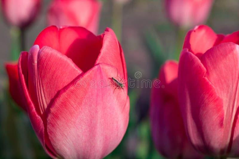 Moscito d'insecte sur la tête colorée lumineuse de la tulipe rouge d'écarlate photographie stock