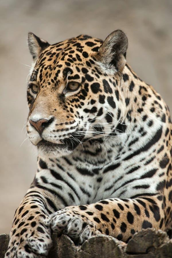moscow för den centrala jaguar för klättringen för Amerika buskar upptar live droughty northem ofta onca över panthera, fotografe royaltyfri bild