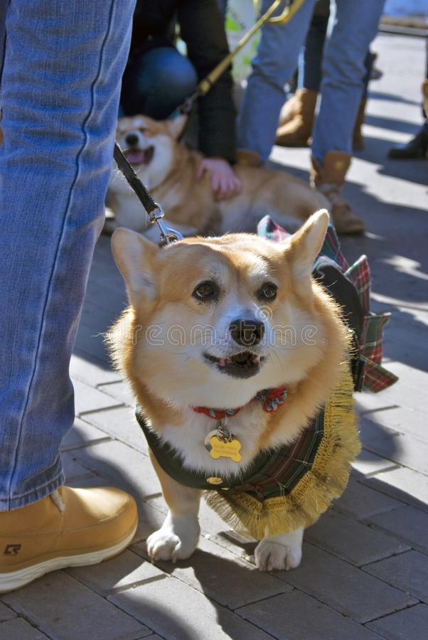 Corgi dogs at Saint Patrick`s Day celebration in Moscow. MOSCOW - MARCH 24, 2018: Saint Patrick`s Day celebration in Moscow. Corgi Irish dogs participate in dogs royalty free stock image
