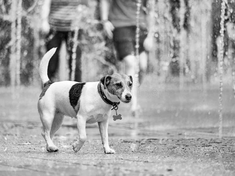 moscow Rosja Czerwiec 19, 2019 Psi kąpanie w odświeżającej kiści miasto fontanna na gorącym letnim dniu Gorący Czerwiec 2019 obrazy royalty free