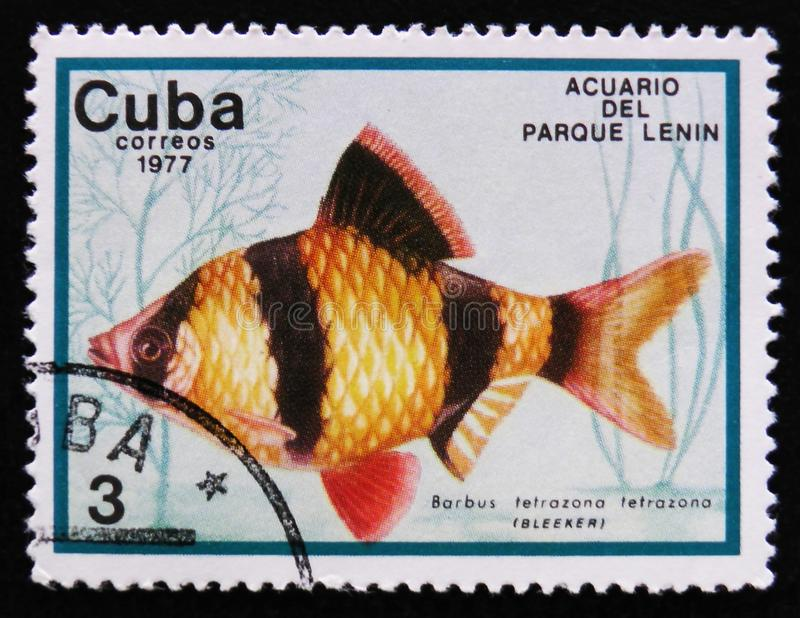 Barbus tetrazona tetrazona, Lenin Park Aquarium, Havana, circa 1977. MOSCOW, RUSSIA - APRIL 2, 2017: A post stamp printed in Cuba show the fish with the royalty free stock image