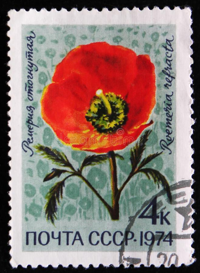 Roemeria refracta flower, circa 1974. MOSCOW, RUSSIA - APRIL 2, 2017: A post stamp printed in USSR shows Roemeria refracta flower, circa 1974 royalty free stock image