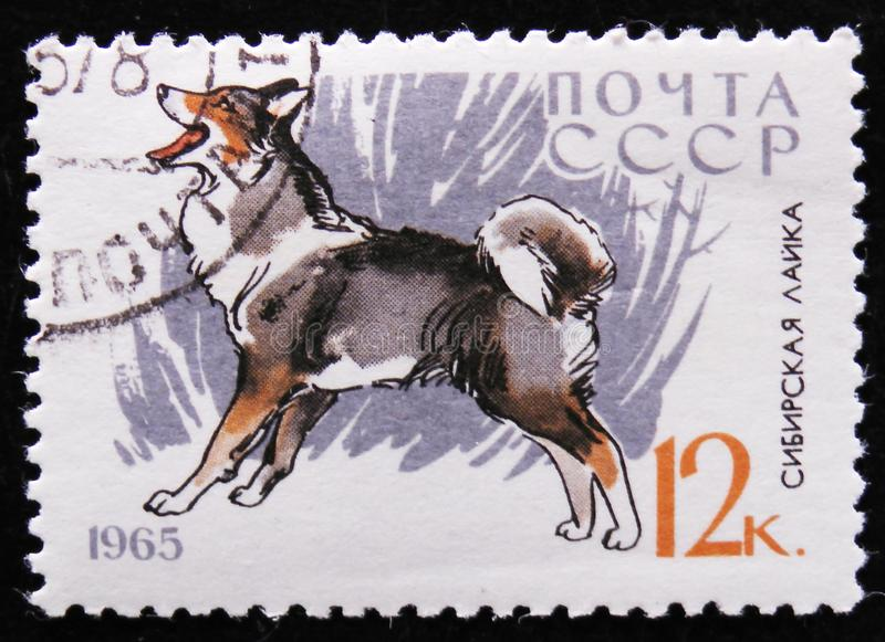 Siberian Husky `Laika` Dog, serie dogs breeds, circa 1965. MOSCOW, RUSSIA - APRIL 2, 2017: A post stamp printed in USSR shows Siberian Husky `Laika` Dog, serie stock photography