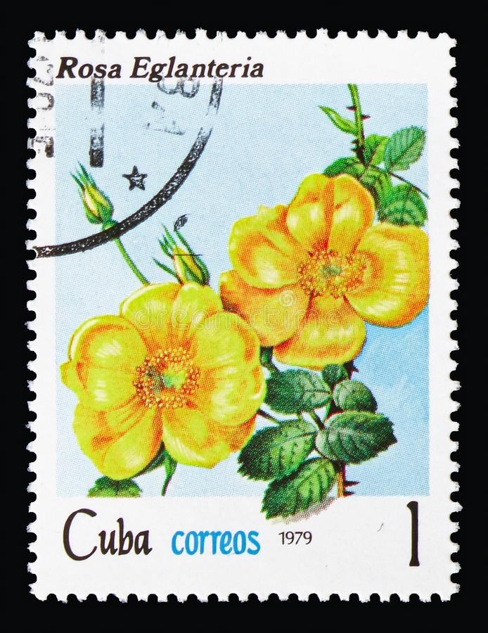 Rosa rubiginosa, Flowers - Roses serie, circa 1979. MOSCOW, RUSSIA - AUGUST 18, 2018: A stamp printed in Cuba shows Rosa rubiginosa, Flowers - Roses serie, circa stock image
