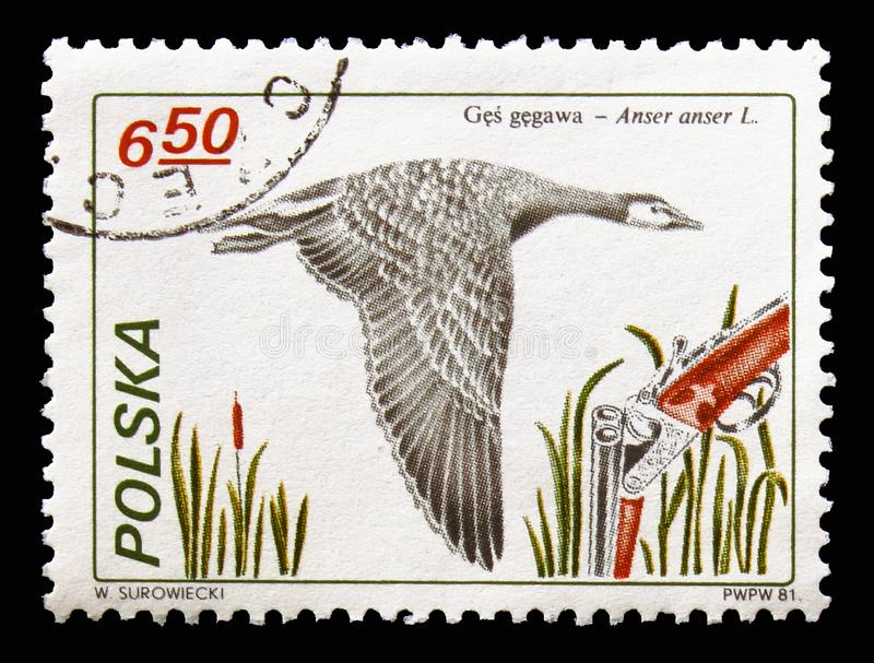 Greylag Goose (Anser anser), Hunting serie, circa 1981. MOSCOW, RUSSIA - AUGUST 18, 2018: A stamp printed in Poland shows Greylag Goose (Anser anser), Hunting stock photography
