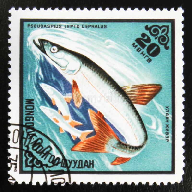 MOSCOW, RUSSIA - JULY 15, 2017: A stamp printed in Cuba shows Ps. Eudaspius Lepto Cephalus fish, Commercial fish, circa 1975 stock photo