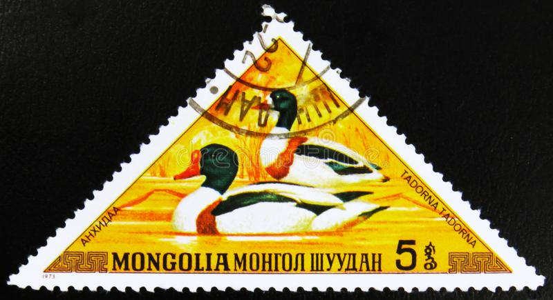 MOSCOW, RUSSIA - JULY 15, 2017: A stamp printed in Mongolia show. S Shelduck, Tadorna tadorna, series, circa 1973 stock image