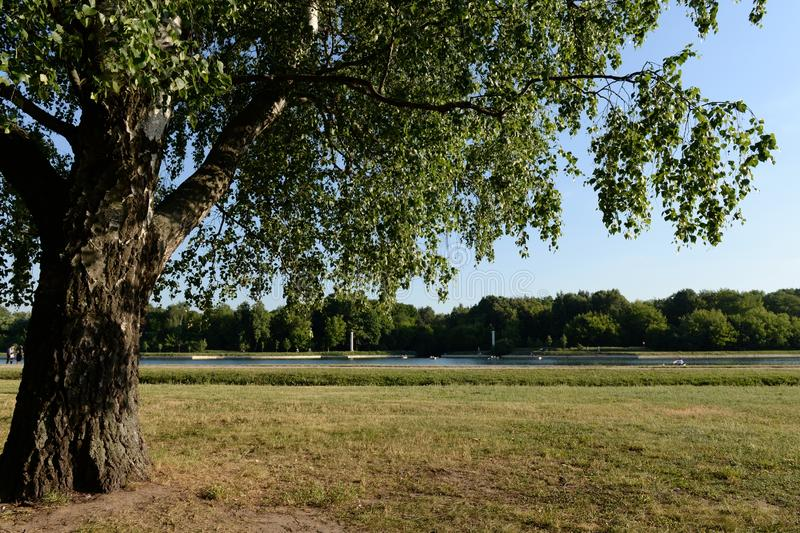 Birch on the banks of the Great Palace pond in the Moscow estate `Kuskovo`. MOSCOW, RUSSIA - JUNE 19, 2019:Birch on the banks of the Great Palace pond in the stock photo
