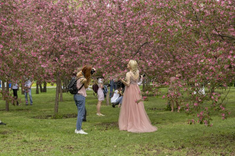 Moscow, Russia – May 15, 2019: Photographer takes pictures of a girl in the flowered apple orchard royalty free stock photography