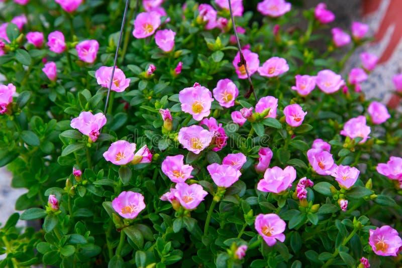 Mose del Purslane o di Pussley o di Rosa o pianta di Sun fotografia stock libera da diritti