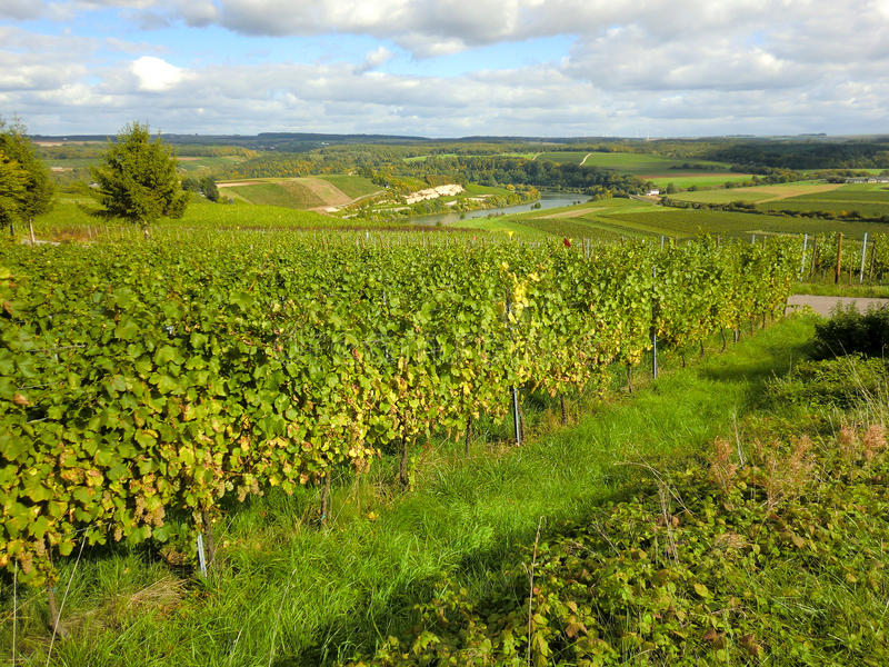 Download The Moselle Vineyard stock photo. Image of mosel, scenery - 16471584