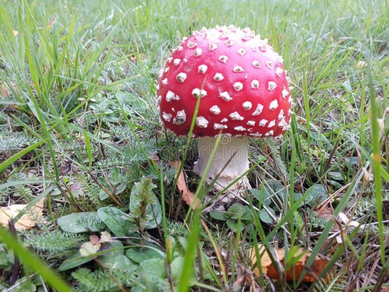 Moshroom fotografía de archivo
