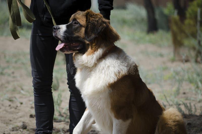 Moskau-Wachhund sitzt auf einem ?bungsfeld stockfoto