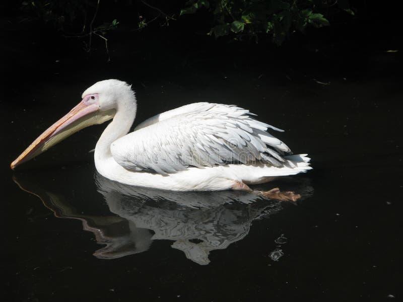 Moskau-Zoo, Pelikan, der in einen Teich, ein schöner Vogel schwimmt lizenzfreie stockbilder