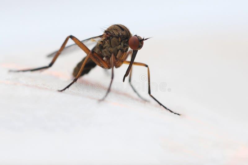 moskito stockbilder